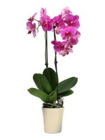 orchid_falenopsis